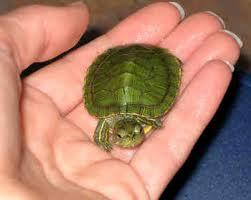 red-ear-slider-turtle
